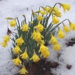 Daffodils herald spring despite snow